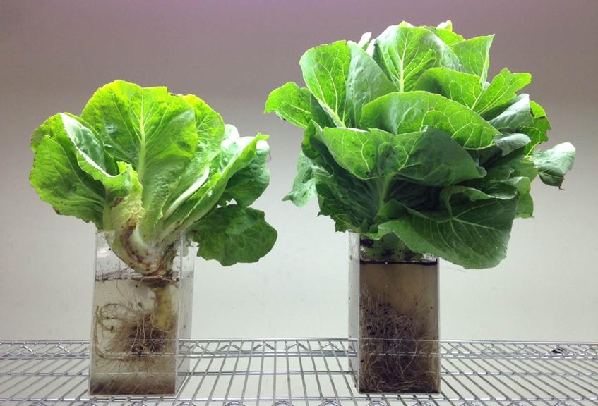 Double_lettuce