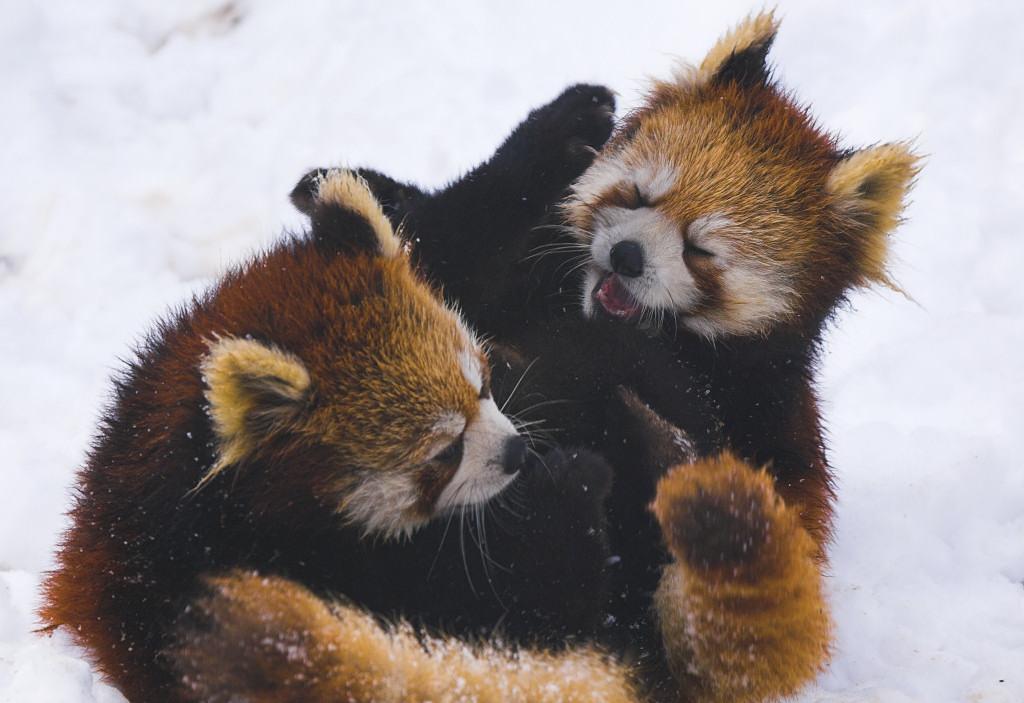 Red_panda_war
