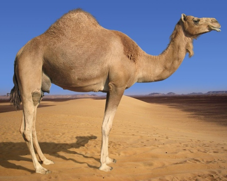 Arabian-camel-1280x1024_medium