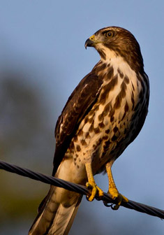 Hawk_broadwinged_immature_mg_4248