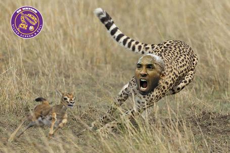 Hunting-cheetah_medium