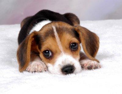 Beagles_3