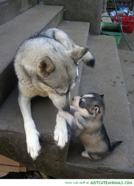 Cute-animals-husky-dog-puppy-dad-pics_medium