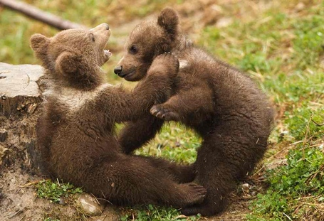Brown-bear-photo-michael-buholzer_medium