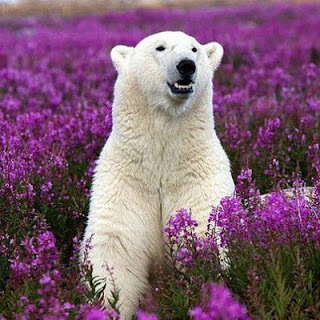Snowbear_in_fields_of_purple_medium