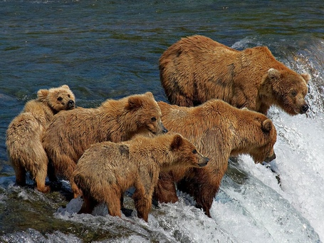 Grizzly-bear-family-fishing_22658_990x742_medium