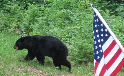 4th_of_july_bear_jpg_medium