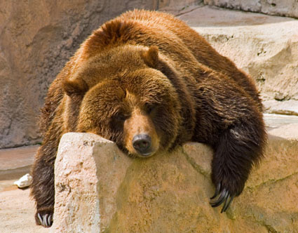 Grizzly-sleeping_medium