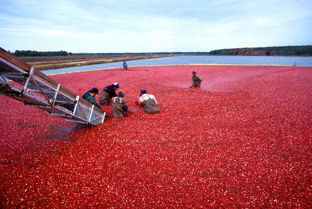 Cranberrys_beim_ernten_medium