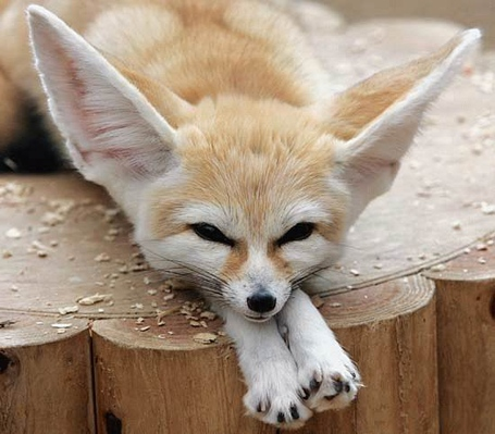 Fennec_fox_medium