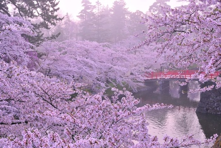 Tokyo-japan-cherry-blossom-festivalbest-festivals-in-march-best-of-topdealshotel-skhy5uif_medium