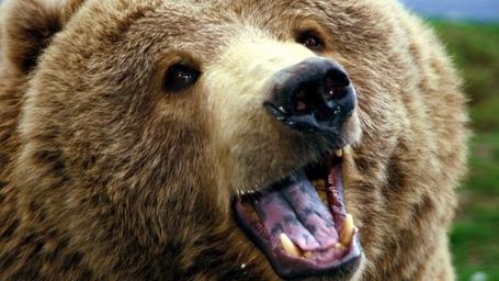 Brown-bear-close-up_medium