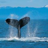 Humpback_whale