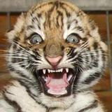 Eight_week_old_tiger