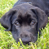 Black-lab-puppy-face-thumb