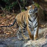 180px-tiger_bandavgarh_adjusted_levels