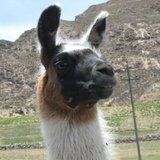 Close_up_llama_nr_2