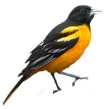Baltimore_oriole_avatar