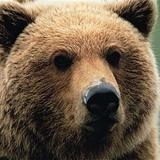 Bear-e2
