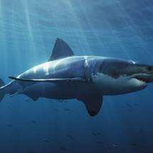 Great-white-shark-1