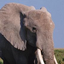 Elephant__8_