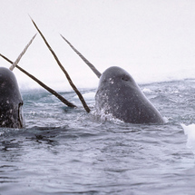 Narwhal-1