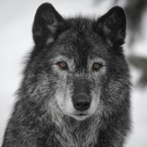 Lonewolfav