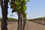 high-plains-texas-vines-150.jpg