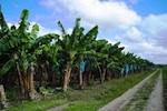 banana-plantation-150.jpg
