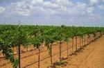 texas-hill-country-vineyard-150.jpg