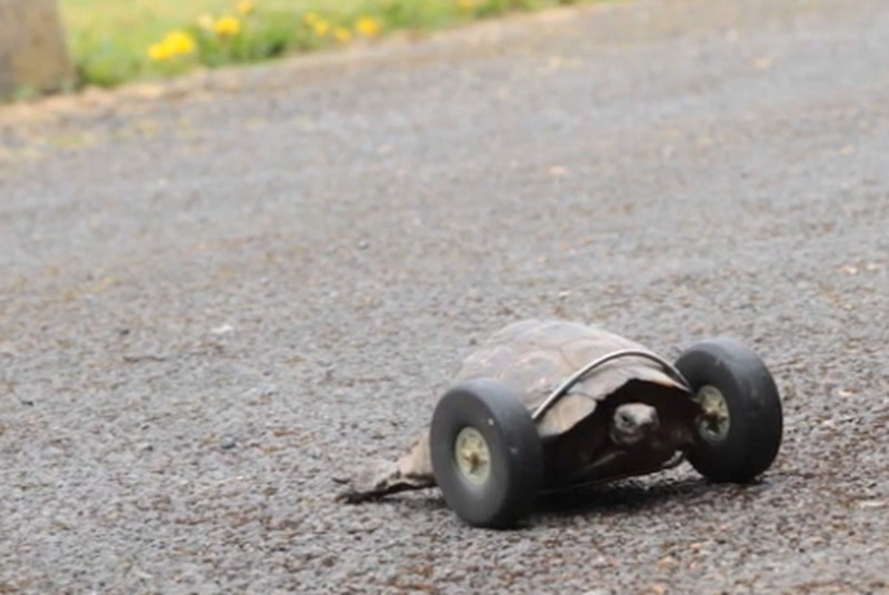 A 90-year-old tortoise rides around on wheels after losing its legs