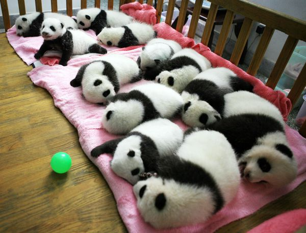 Not the new baby pandas (who are not old enough to be cute and fluffy yet) but baby pandas all the same
