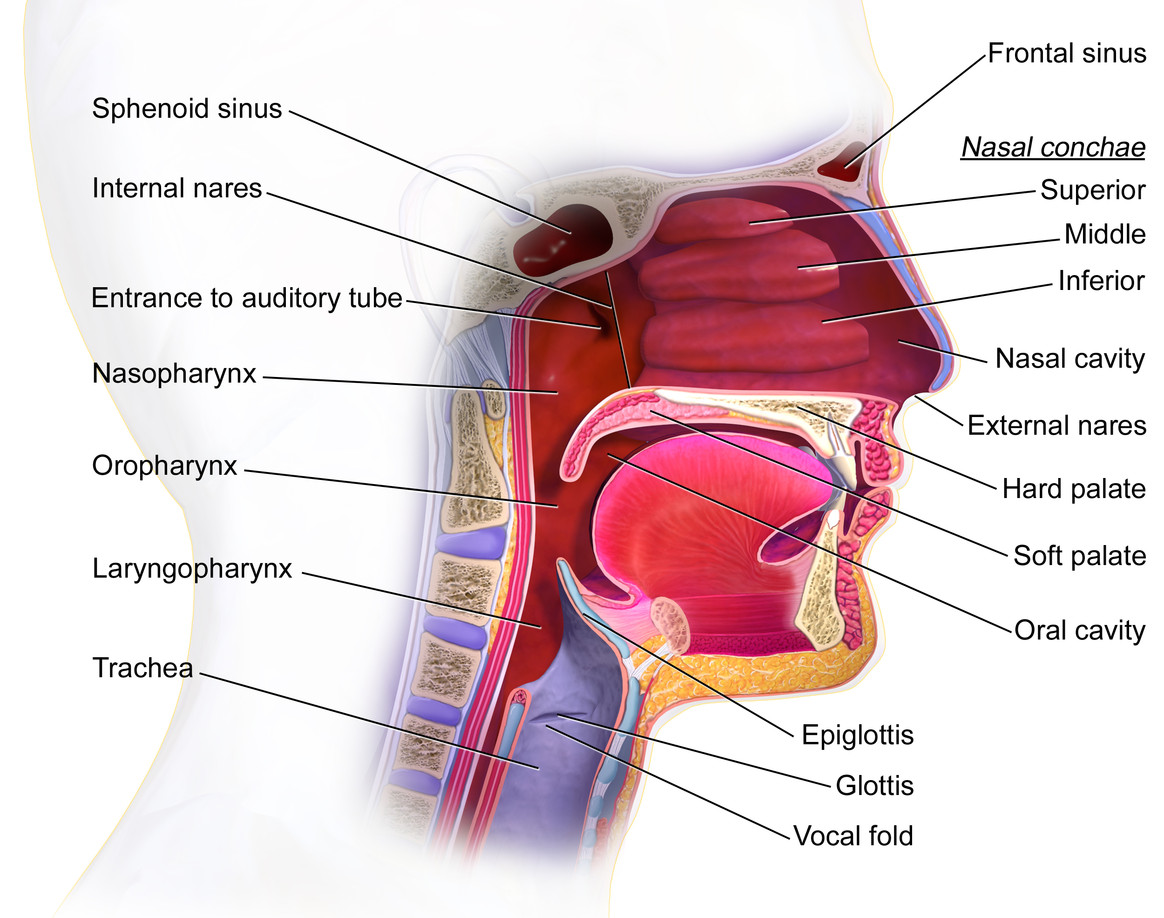 Auditory tube anatomy