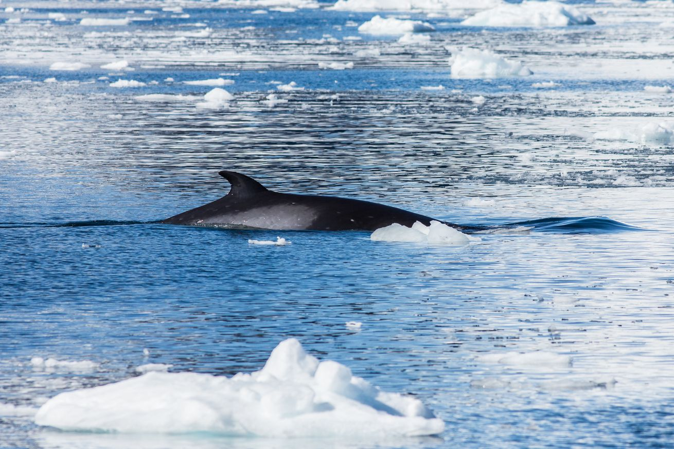 Japan's excuse for killing 333 whales in the Antarctic is complete and total nonsense