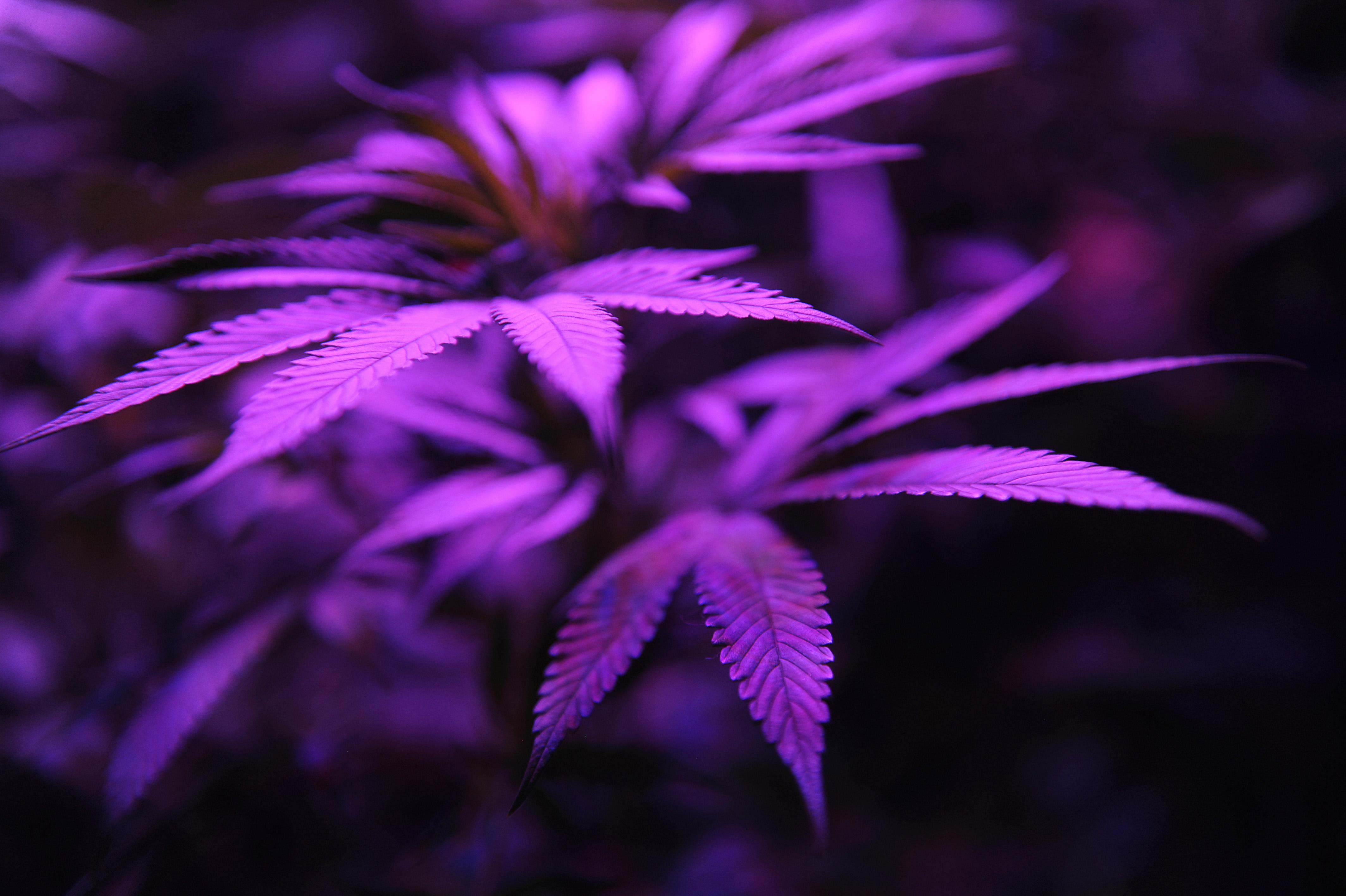 it sure looks like marijuana legalization will make your weed a purple marijuana plants