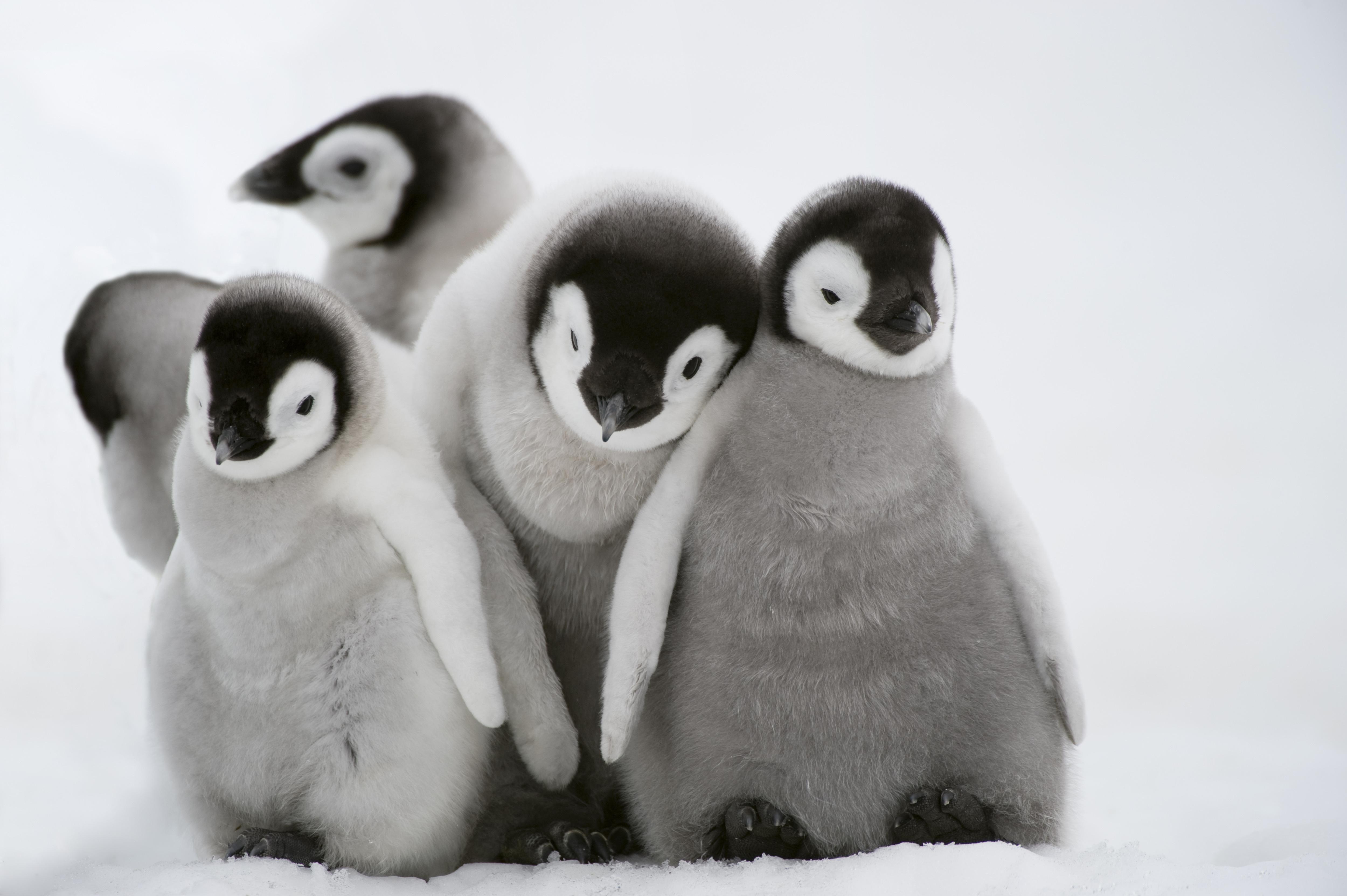 ペンギンの兄弟たち