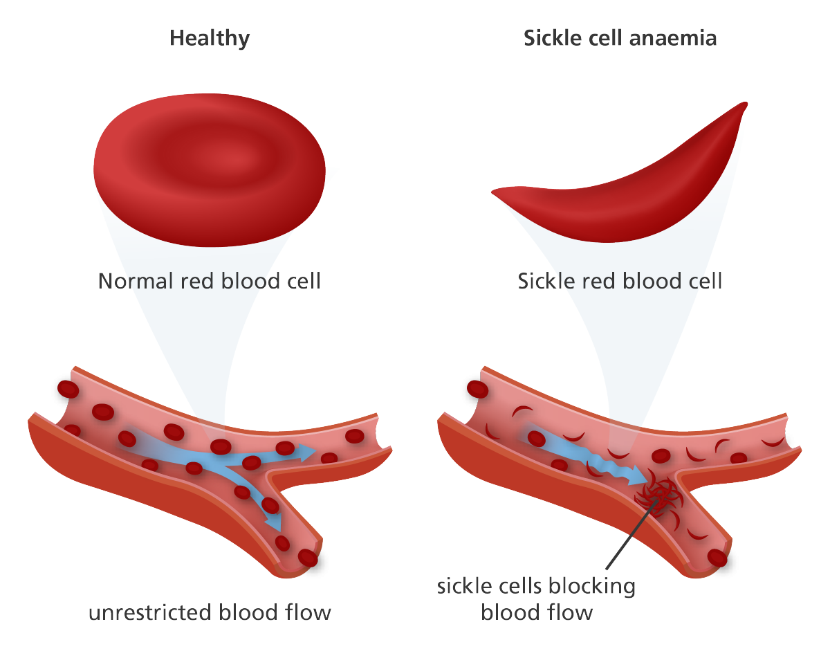 red blood cells essays