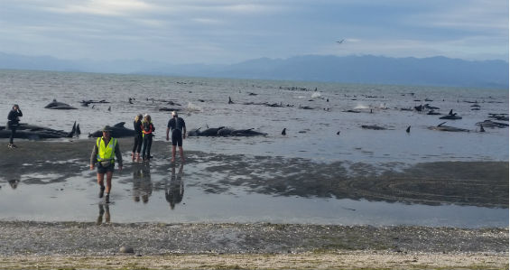 400 whales stranded on New Zealand beach